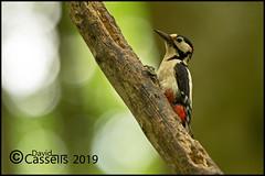 Great Spotted Woodpecker Male (David E Cassells) Tags: wood pecker bird great spotted gtspotted woodpecker dendrocoposmajor canon1dx naturephotography wildlifephotography canonef300mmf28lisiiusm northern ireland dendrocopos major animal