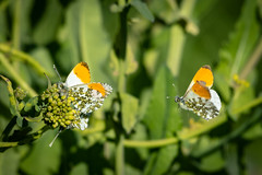 Three's a Crowd (Spenner_BFC) Tags: wildlife nature butterflies butterfly orange tip orangetip
