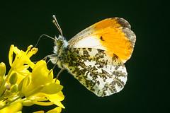 Orange Tip (Spenner_BFC) Tags: wildlife nature butterflies butterfly orange tip orangetip