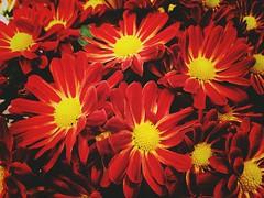 147/365/8 (f l a m i n g o) Tags: flower may 20th 2019 monday project365 365days 41997
