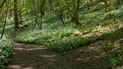 2019054ymd Wlk frm Ashford in the Water_0047 Great Shacklow Wood~Wild Garlic~Allium ursinum (paul_slp5252) Tags: derbyshire walking hiking whitepeak greatshacklowwood wildgarlic alliumursinum