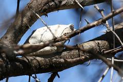 Grey Foam-nest Tree Frog (Baractus) Tags: grey foamnest tree frog john oates madikwe south africa