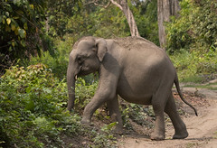 Asian Elephant (vischerferry) Tags: asianelephant elephant india kaziranga wildelephant