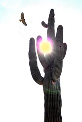 ARIZONA (gbloniarz1925) Tags: nature arizona desert hot plant cacti saguaro sun hawk predator