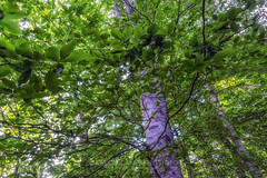 Tree Canopy, 2019.05.18 (Aaron Glenn Campbell) Tags: civilianconservationcorps campdewittkinchen ccc494 tva45 campsam norrisdam statepark rockytop norris andersoncounty tennessee tn outdoors optoutside leaves foliage canopy vivid vibrant trees wooded nikcollection colorefexpro viveza softfocus glow sony a6000 ilce6000 sigma 19mmf28exdn primelens autofocus emount