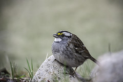 White throated sparrow (StarRider1300) Tags: bird sparrow whitethroatedsparrow avian feathered nature