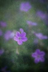 Little pink geranium (judy dean) Tags: 365the2019edition 3652019 day140365 20may19 judydean 2019 garden lensbaby texture ps cranesbill geranium pink