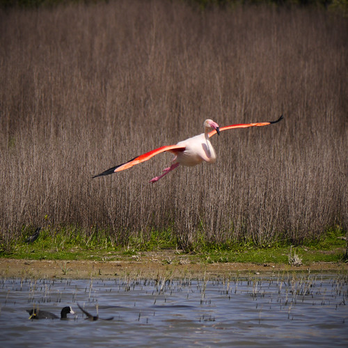 190414_flamingovliegend