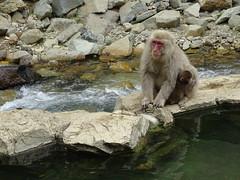 Monkey in Japan (nihonkarafr) Tags: japon japan singes monkey jigokudani snow onsen bath bain eau