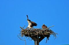 When Your Spouse is Being Dramatic I (Michiale Schneider) Tags: osprey raptors nature birds nest dingdarlingwildliferefuge sanibelisland florida michialeschneiderphotography