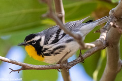 Yellow-throated Warbler (David Levasheff) Tags: warblers yellowthroatedwarbler santabarbara ca usa