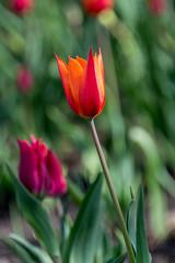 Tulip (sklachkov) Tags: flower flowers tulip tulips festival tulipfestival ottawa spring