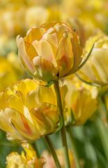 Tulip (sklachkov) Tags: tulips tulip flower flowers colors spring