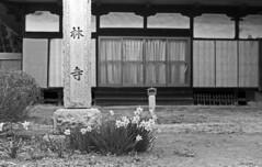 Daffodils at a temple (odeleapple) Tags: leica llla elmar 5cm f35 kodaktmax100 film monochrome analog bw daffodil temple