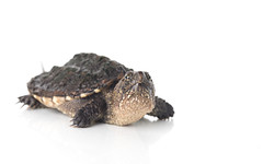 Juvenile Snapping Turtle (Duluoz Me) Tags: snapping turtle reptile herp herping herpping scale texture aquatic claws green brown yellow summer spring young juvenile hatchling migration outside outdoors wild wildlife nature natural beauty beautiful