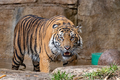 Rakan (ToddLahman) Tags: rakan tiger tigers tigertrail exhibita sandiegozoosafaripark safaripark closeup escondido eyelock portrait photooftheday profileheadshot photography photographer nikond500 nikonphotography nikon mammal male