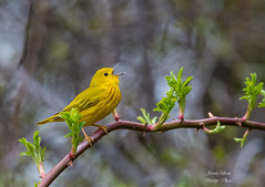 Yellow Warbler (Jamie Lenh Photography) Tags: nature wildlife birds warblers yellowwarbler spring singing ontario canada