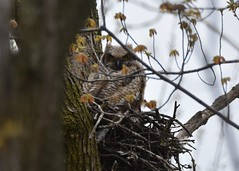 great horned out (eddissonuk) Tags: great horned out