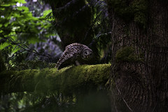 North West Rain Forest (Omnitrigger) Tags: owl barredowl nature outside forest moss green