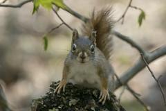 Red squirrel (Tamiasciurus hudsonicus) (octothorpe enthusiast) Tags: lemoinepointconservationarea tamiasciurushudsonicus redsquirrel kingston ontario