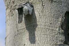 Downy woodpecker (Picoides pubescens) excavating a nest cavity (octothorpe enthusiast) Tags: lemoinepointconservationarea picoidespubescens downywoodpecker nest kingston ontario bird nestbuilding