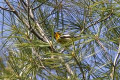 Blackburnian warbler (Setophaga fusca) (octothorpe enthusiast) Tags: lemoinepointconservationarea blackburnianwarbler warbler bird kingston ontario setophagafusca