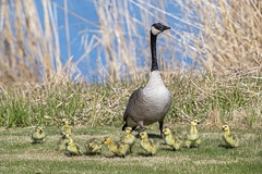Canada geese (Peter Stahl Photography) Tags: canadageese goslings geese goose