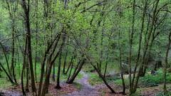 Mountain Clusters (Robert Cowlishaw (Mertonian)) Tags: pathway beauty beautiful wonder awe ineffable nature wilderness robertcowlishaw mertonian canonpowershotsx70hs sx70hs powershot canon deepseeksdeep 4sophia spring2019 4newbeginnings rainy
