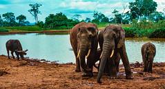 (Sebastopol, California) Tags: kenya africa capebuffalo elephants