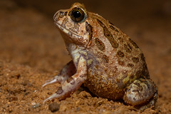 Unidentified frog sp. (Jono Dashper Wildlife) Tags: unidentified frog sp tangalle srilanka animal wild wildlife nature 2018 canon jonodashper jonathondashper amphibian herp herping macro food
