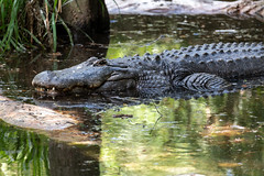 Gator in Shallow Water (Eric Kilby) Tags: zootampa lowrypark zoo animal florida reptile alligator gator