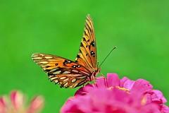 Gulf Fritillary (deanrr) Tags: flower gulffritillary 2019 morgancountyalabama butterfly outdoor butterflyonflower nature zinnia backyardbutterfly