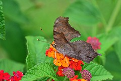 Question Mark butterfly?  Comma Butterfly? (deanrr) Tags: butterfly butterflyonflower flower lantana nature outdoor backyardbutterfly lateralview morgancountyalabama alabama spring 2019 anglewings