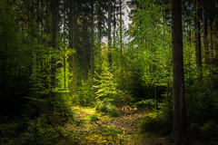 The place (Petr Sýkora) Tags: les forest trees green calm serene