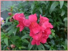Snapdragon (2) (margaretpaul) Tags: flowers garden homegarden snapdragon