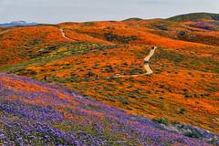 Wildflower Bloom - Antelope Valley California (rajaramki) Tags: superbloom superbloom2019 antelopevalleypoppyreserve