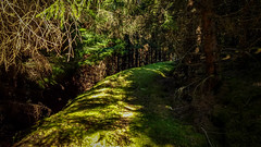 Forest Road (prajpix) Tags: forest woods wood woodland tree trees plantation forestry road track path way grass moss green sunlight shadows