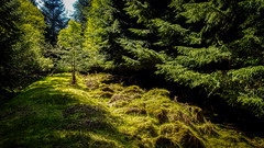 shadows (prajpix) Tags: forest woods wood woodland tree trees plantation forestry road track path way grass moss green sunlight shadows