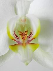 Coeur d' orchidée (Daniel Biays) Tags: orchidée fleur flower