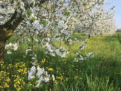 IMG_7547 (Бесплатный фотобанк) Tags: россия краснодар цветущий фруктовый весенний яблоневый вишневый сад весна цветение