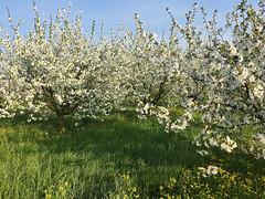 IMG_7545 (Бесплатный фотобанк) Tags: россия краснодар цветущий фруктовый весенний яблоневый вишневый сад весна цветение