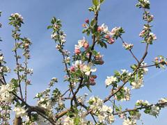 IMG_7540 (Бесплатный фотобанк) Tags: россия краснодар цветущий фруктовый весенний яблоневый вишневый сад весна цветение