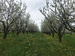 IMG_7464 (Бесплатный фотобанк) Tags: россия краснодар цветущий фруктовый весенний яблоневый вишневый сад весна цветение