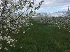 IMG_7455 (Бесплатный фотобанк) Tags: россия краснодар цветущий фруктовый весенний яблоневый вишневый сад весна цветение