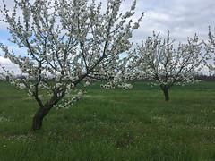 IMG_7453 (Бесплатный фотобанк) Tags: россия краснодар цветущий фруктовый весенний яблоневый вишневый сад весна цветение