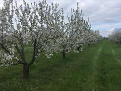 IMG_7444 (Бесплатный фотобанк) Tags: россия краснодар цветущий фруктовый весенний яблоневый вишневый сад весна цветение