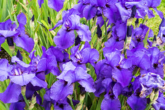 Merian Garten Basel, sea full of iris (gerdjandijk) Tags: iris basel switzerland swiss merian garten garden
