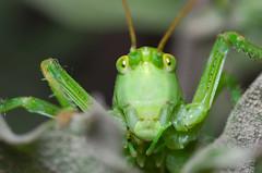 Green locust (Capturedbyhunter) Tags: fernando caçador marques fajarda coruche ribatejo santarém portugal pentax k5 smc fa 100mm f28 macro locust gafanhoto green verde manual focus focagem foco pentaxart nature natureza selvagem