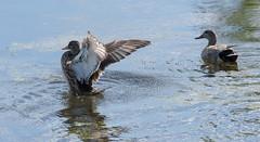 Серая утка (SvetlanaJessy) Tags: природа птицы сераяутка bird birds