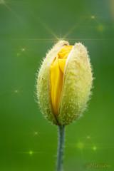 gelb sucht sich seinen Weg nach draußen (yvonneniessen) Tags: gelb garten frühling botanischer osnabrück hobby canon 100 mm